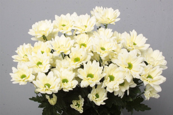 <h4>Chrysant T Prosecco</h4>