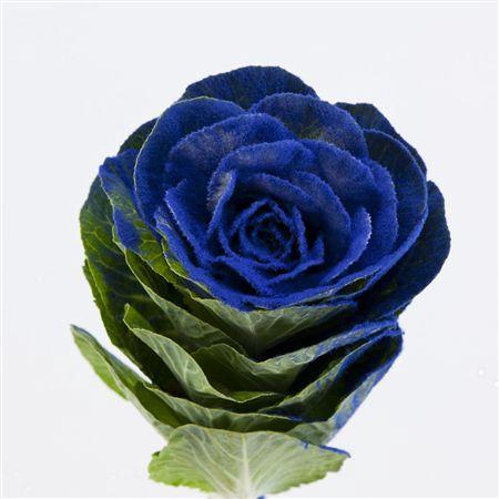 <h4>Brassica Powder Blue</h4>