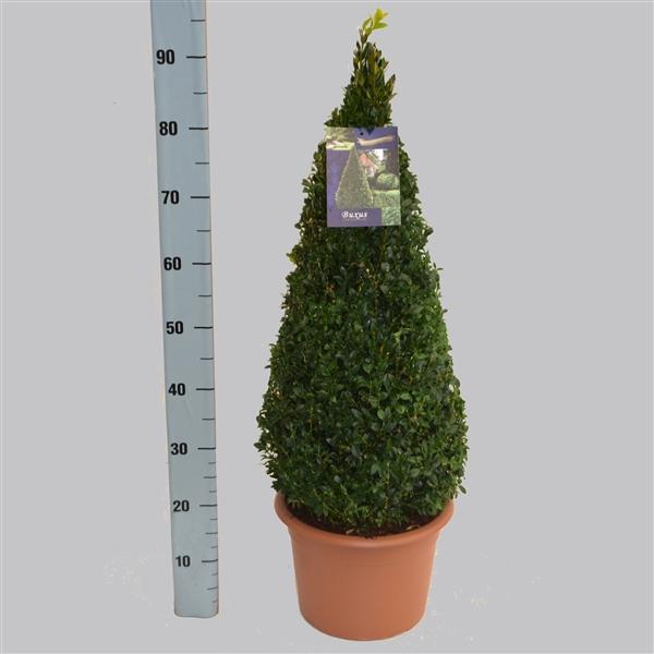 <h4>Buxus semp. 60cm pyr. 26/TC7.5</h4>