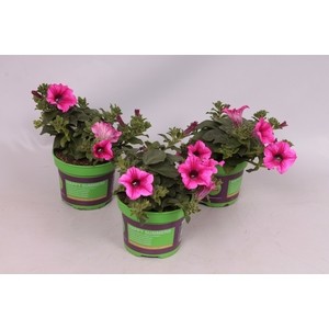 Petunia Surfinia Hot Pink 05