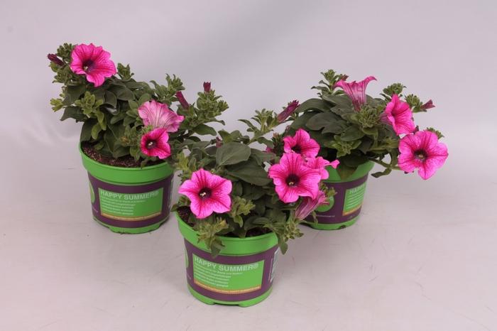 <h4>Petunia Surfinia Hot Pink 05</h4>