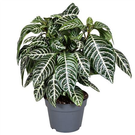 <h4>Botanica Aphelandra Green</h4>