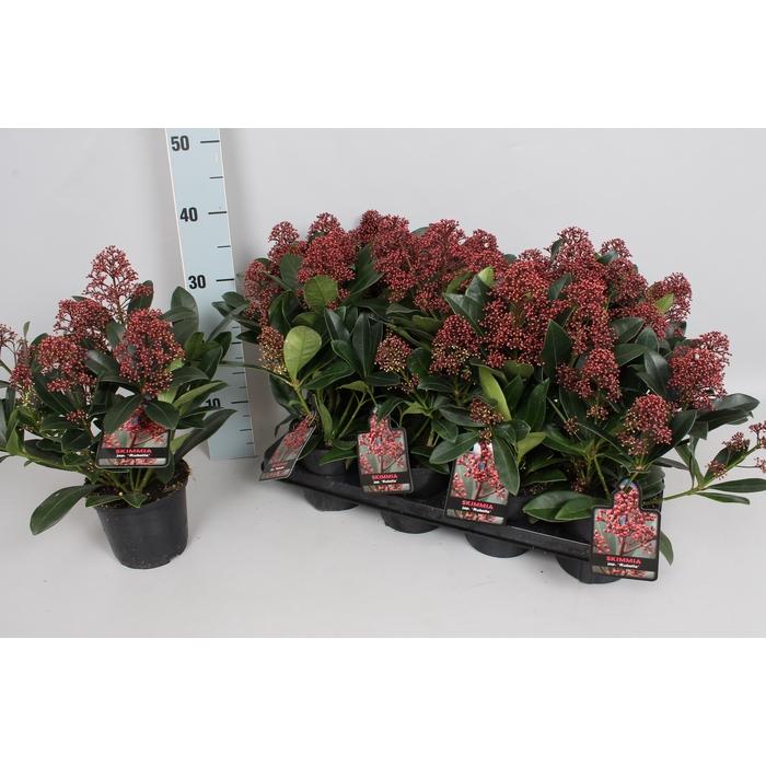 <h4>Skimmia jap. 'Rubella' 4/6 bloem</h4>