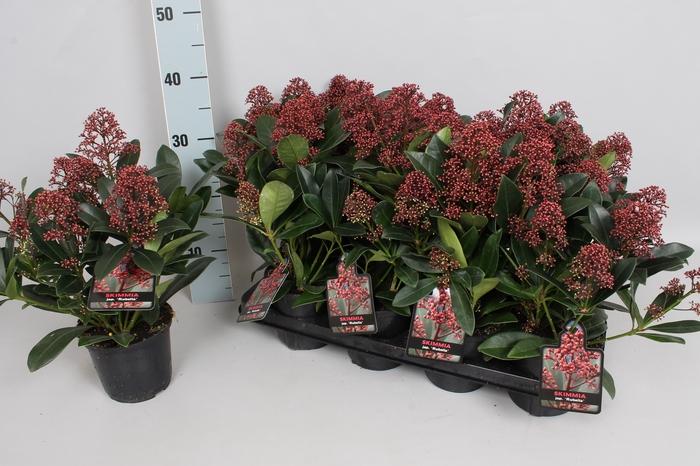Skimmia jap. 'Rubella' 4/6 bloem