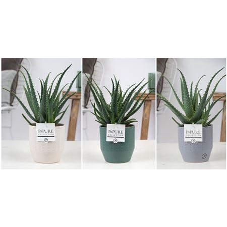 <h4>Aloe Arborescens Keramiek Expression</h4>