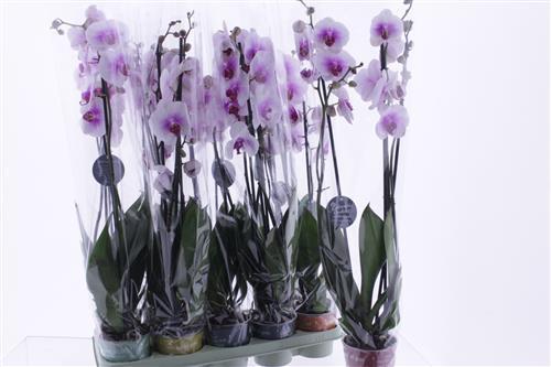 <h4>Phalaenopsis Mountion</h4>