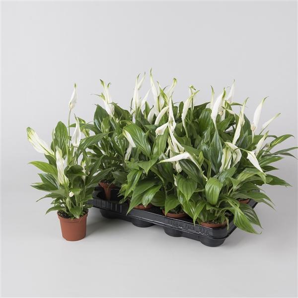 <h4>Spathiphyllum pearl 7cm Asp</h4>