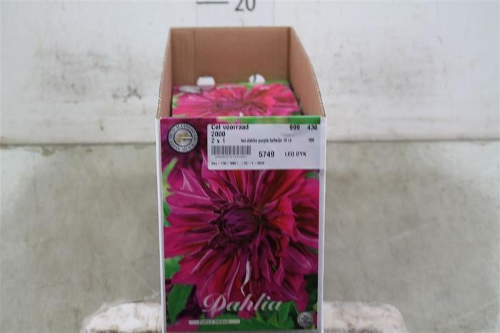 <h4>Bol Dahlia Purple Taiheijo 10 Zakjes X1</h4>