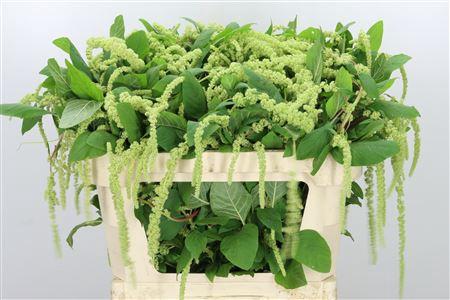 <h4>Amaranthus Hg Green Cord Fine</h4>