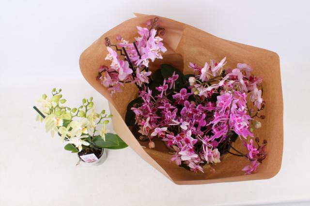 <h4>Phalaenopsis mix 12Ø 50cm 2st 30fl</h4>