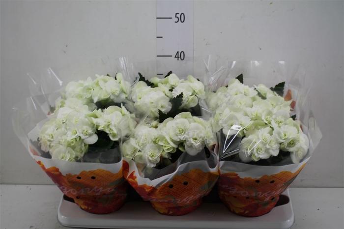 <h4>Begonia Hl Wit</h4>