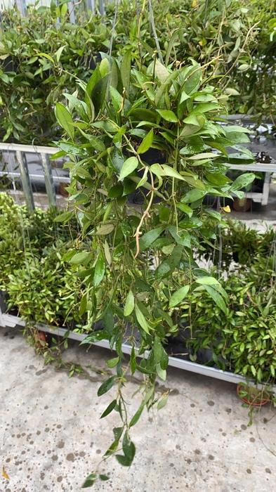 <h4>Hoya lacunosa 10,5Ø 30cm</h4>