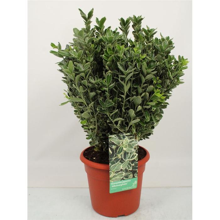 <h4>Euonymus Japonicus 'albomarginatus' Bush</h4>
