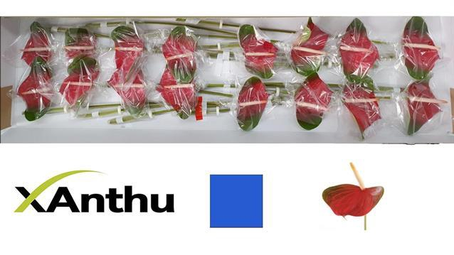 <h4>Anthurium Lovely Exciting Love</h4>