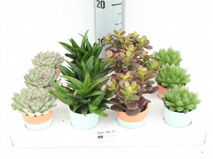 <h4>Succulent Mix In Pot Lima</h4>