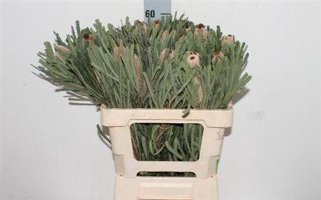 <h4>Banksia Hookerana</h4>