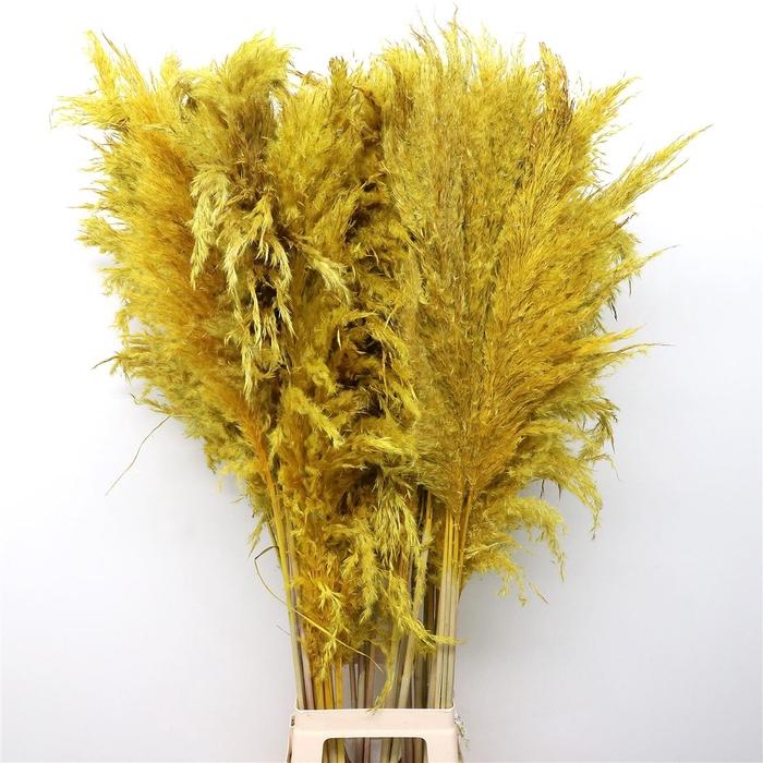<h4>Corta Dried Yellow 120cm</h4>