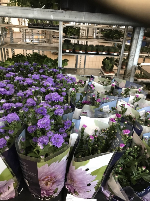 <h4>STRAND ASTERS</h4>