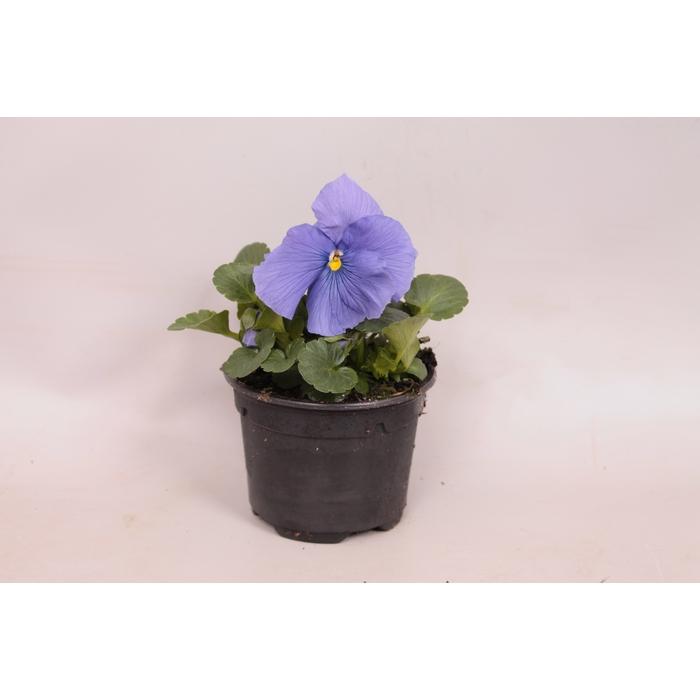 <h4>Viola wittrockiana F1 Pure light blue</h4>