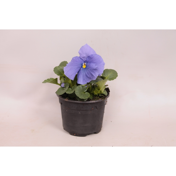 <h4>Viola sixpack F1 Pure light blue</h4>