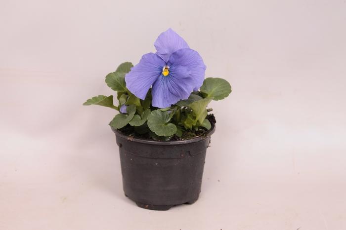 <h4>Viola wittrockiana F1 True blue</h4>
