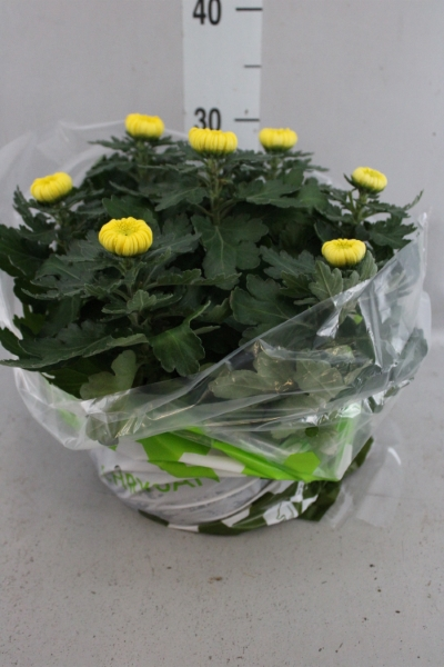 <h4>Chrysanthemum  'Deco'   ...mix</h4>
