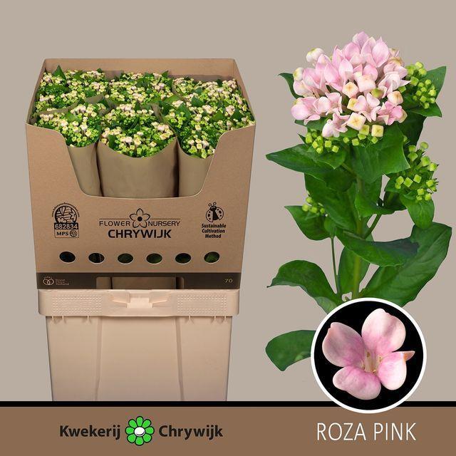 <h4>BOU EN ROZA PINK</h4>