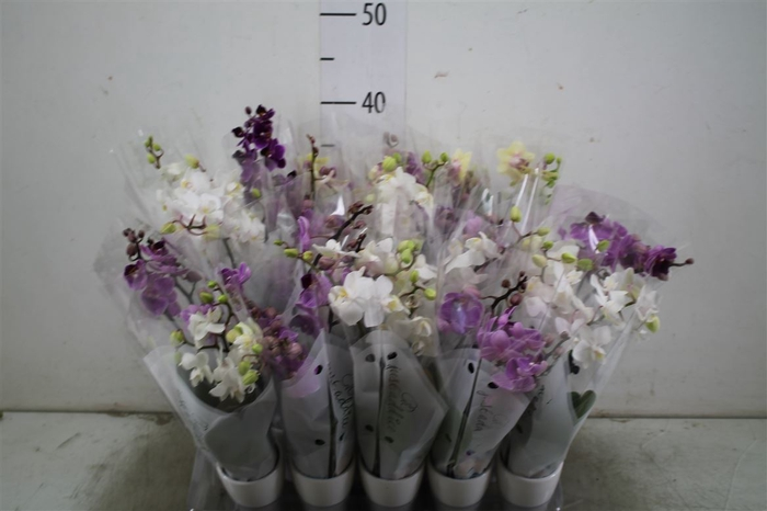 <h4>Phal Mini Mix 2 Tak In Keramiek</h4>