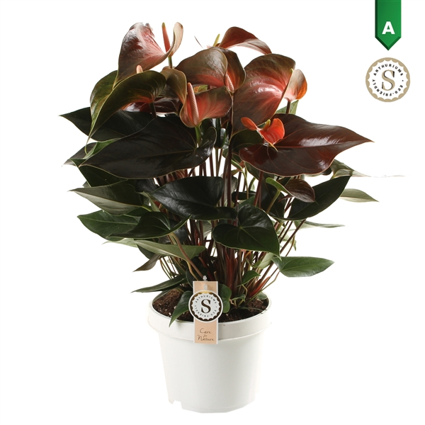 <h4>Anthurium Rainbow Champion 21cm</h4>