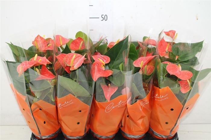 <h4>Anth An Prince Of Orange</h4>