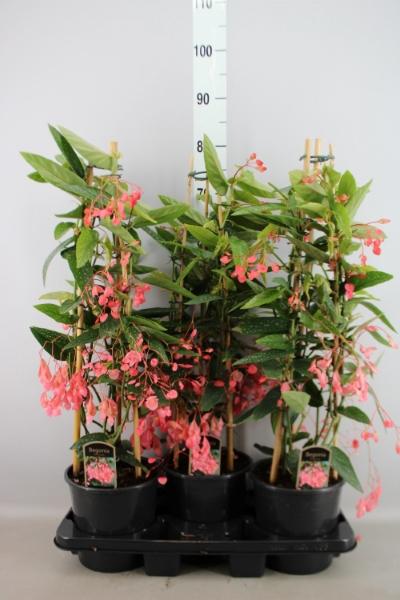<h4>Begonia   ...</h4>
