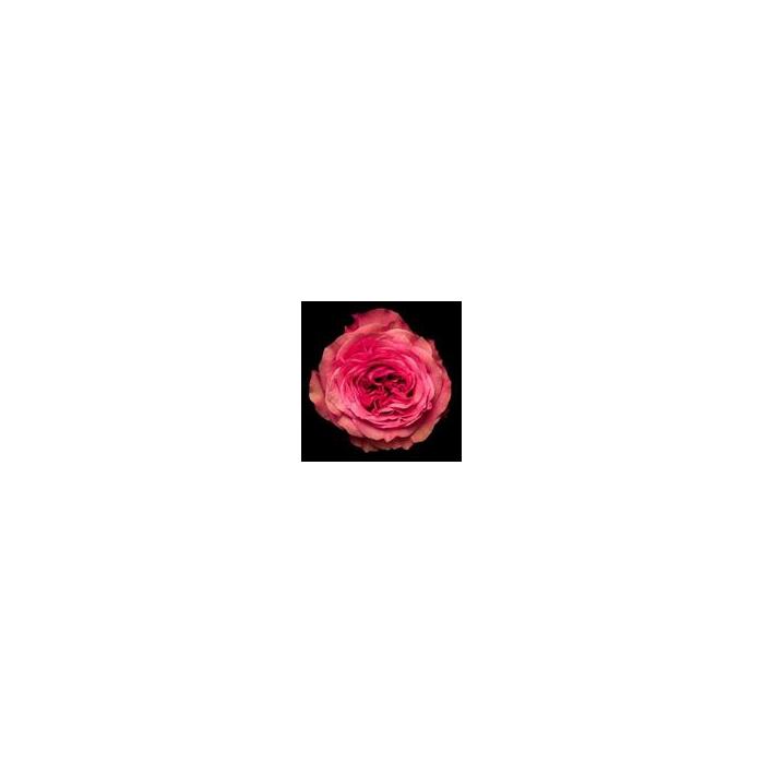 <h4>Rosa Gr. DFR114</h4>