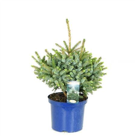 <h4>Picea Omorika Nana</h4>