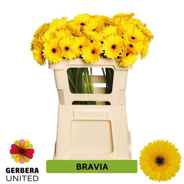 <h4>GE MI BRAVIA</h4>