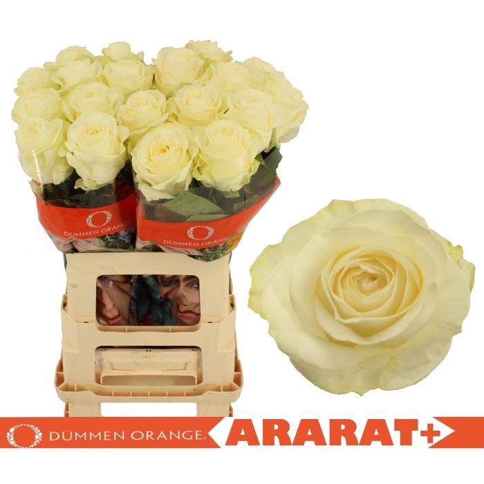 <h4>R GR ARARAT+</h4>