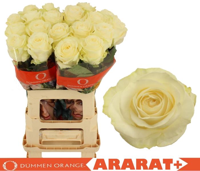 R GR ARARAT+
