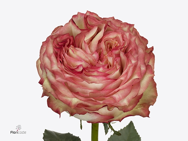 Rosa large flowered Miraculous@