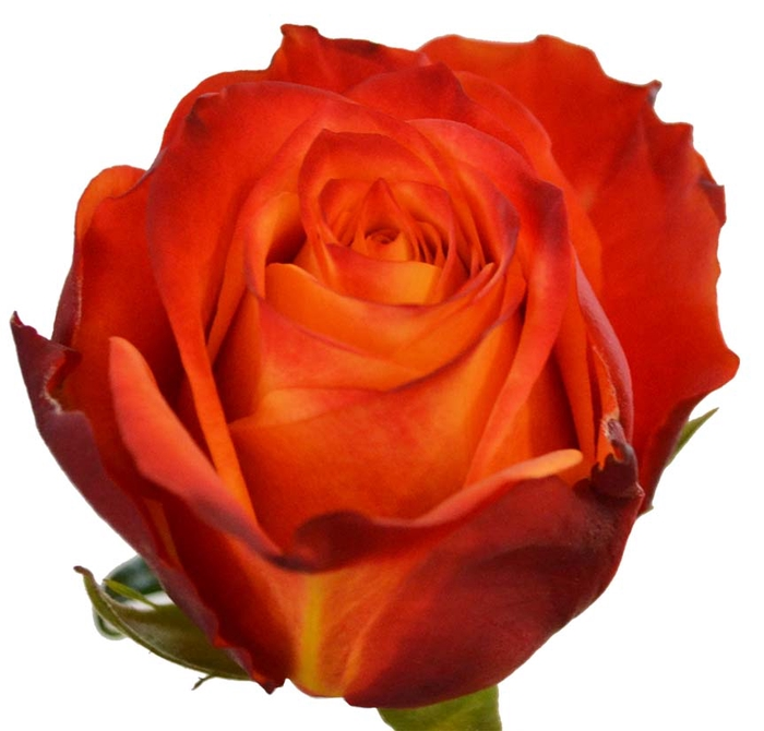 <h4>R Gr Atomic Orange 50cm EC</h4>