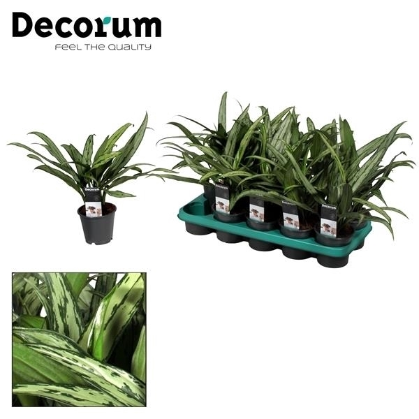 <h4>Aglaonema Cutlass (Decorum)</h4>