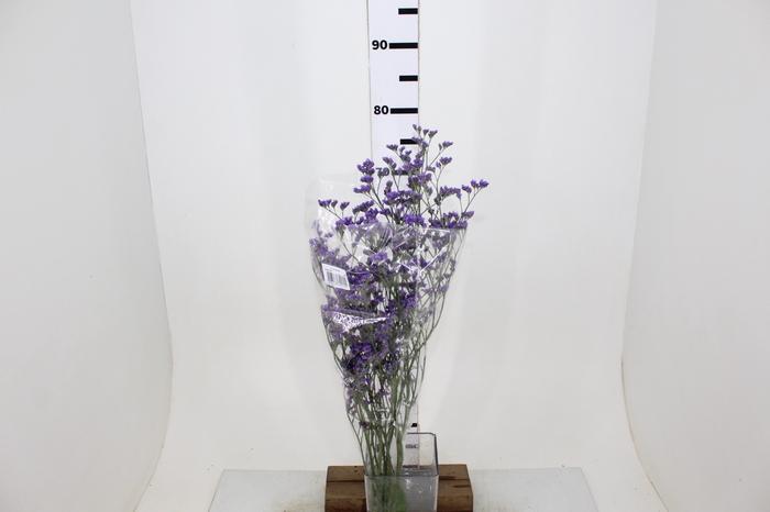 <h4>LIMONIUM ANET BLUE 080 CM</h4>