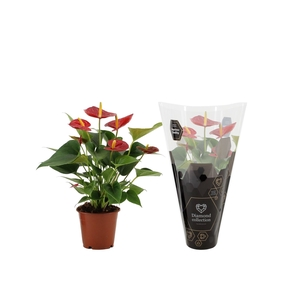 Anthurium Diamond Red