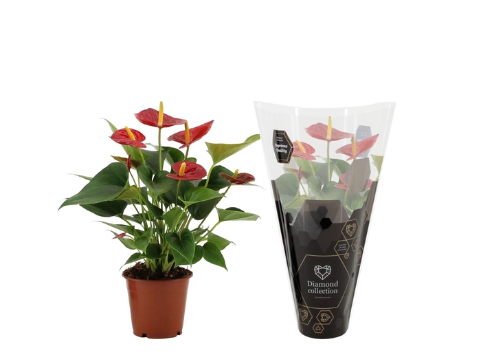<h4>Anthurium Diamond Red</h4>