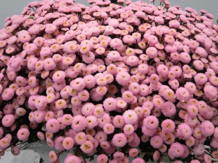<h4>Chr San Mad Pomp Rose</h4>