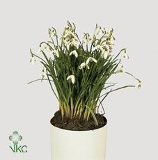 Galanthus Niv In Pot