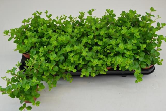 <h4>Peperomia Rotundifolia 8,5Ø 15cm</h4>