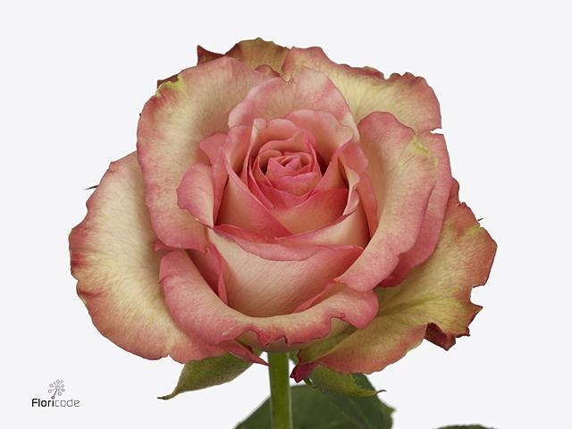 Rosa Gr. Talisman
