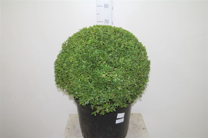 <h4>Buxus Semp Bolvormig 55cm</h4>