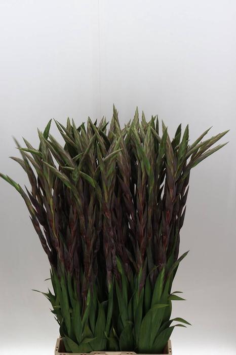 <h4>Gladiolus groot Magma</h4>