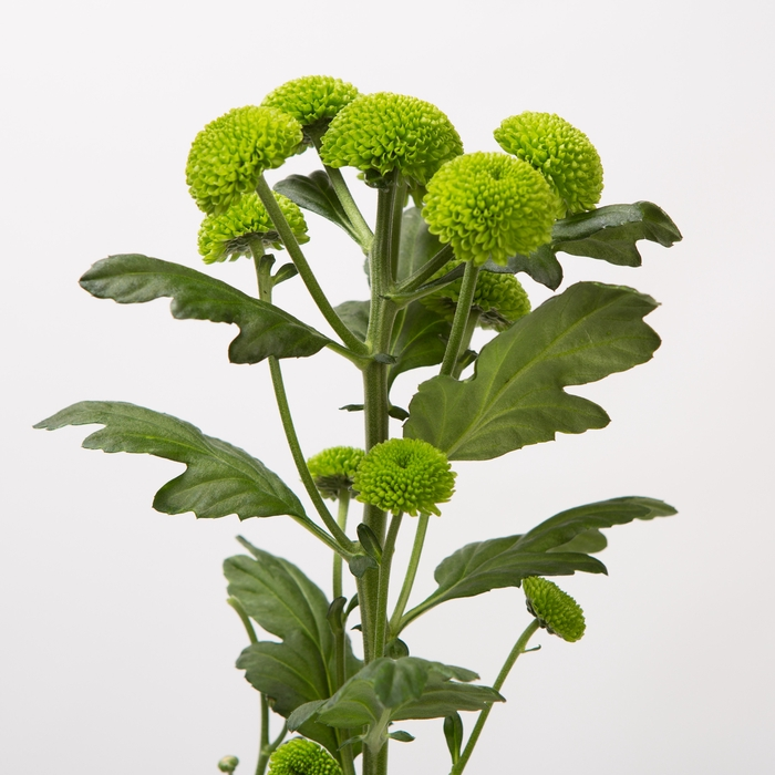 <h4>Chrysanthemum spray feeling green</h4>