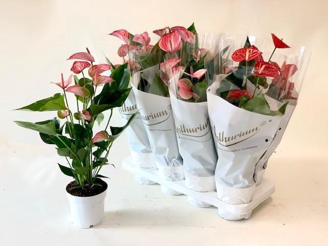 <h4>Anthurium mix 3 kolory 14Ø 50cm 6+ kwiatów</h4>
